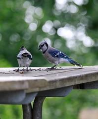 Blue Jays. (Gillian Floyd Photography) Tags: blue jays birds