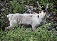 IMG_0928 (www.ilkkajukarainen.fi) Tags: poro reindeer lappi animal eläin nature luonto lapland happy life travel traveling visit summer kesä 2018 suomi finland finlande eu europa scandinavia