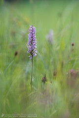 Geflecktes Knabenkraut (Christian Birzer) Tags: kaprun orchidee österreich blühen blüte geflecktesknabenkraut blume natur wiese grün unschärfe draussen urlaub schönheit umwelt naturschutz schön lila idylle europa unscharferhintergrund
