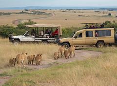 Safari in The Maasai Mara (Ray in Manila) Tags: kenya lion maasaimara mara africa safari eos650d efs55250mm pride mammal fauna wild landcruiser jeep maasai cubs family savanna cats simba big5 nationalreserve predator bovine riftvalley