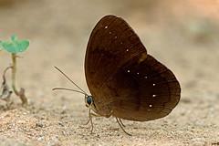 Faunis canens - the Common Faun (BugsAlive) Tags: butterfly mariposa papillon farfalla schmetterling бабочка conbướm ผีเสื้อ animal outdoor insects insect lepidoptera macro nature nymphalidae fauniscanens commonfaun morphinae wildlife lamnamkoknp chiangrai liveinsects thailand ผีเสื้อในประเทศไทย thailandbutterflies bugsalive ผีเสื้อป่าสีตาลไหม้