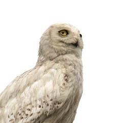 Snowy Owl Portrait (ksblack99) Tags: snowyowl buboscandiacus owl