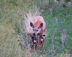 Wild Mule Doe twins 3 (got2snap) Tags: sx60 canon country saskatchewancountry prairies animals deer muledeer new june fawns twins born doe wildlife canada