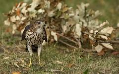 Juvenile Cooper's hawk (Guy Lichter Photography - 4M views Thank you) Tags: cooper'shawk hawks hawk birds bird animal animals wildlife winnipeg manitoba canada 5d3 canon