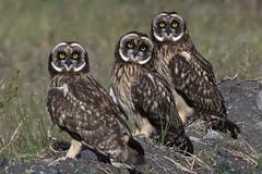 Short-eared Owls (Asio flammeus) DDZ_4354 (NDomer73) Tags: 08june2018 june 2018 malheurnationalwildliferefuge malheurnwr malheur burns bird shortearedowl owl raptor