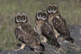 Short-eared Owls (Asio flammeus) DDZ_4354