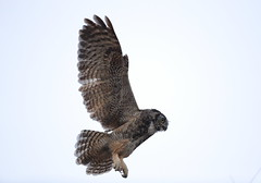 Great horned owl in flight (charlescpan) Tags: