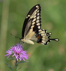 Giant Swallowtail (vischerferry) Tags: swallowtail giantswallowtail lepidoptera knapweed wildflower newyorkstate purplewildflower