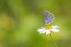 icarus blue (Bart Hardorff) Tags: 2018 barthardorff herwijnen thenetherlands butterfly juli vlinder icarusblauwtje blauwtje