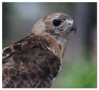Christo, Red-tailed Hawk