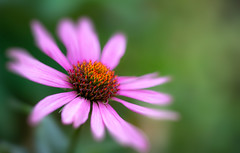 223/365: Just little ol'  me (judi may) Tags: 365the2018edition 3652018 day223365 11aug18 echinacea flower pink bokeh dof depthoffield garden bloom canon5d macro soft softness blur