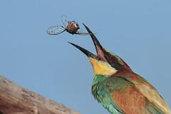 Il giocoliere (Marcello Giardinazzo) Tags: gruccione meropsapiaster birds bird avifauna uccelli natura wild italia