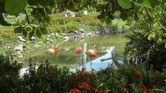 Red suit (R. M. Marti) Tags: flamencos laguna agua vegetación flamingos lagoon water vegetation