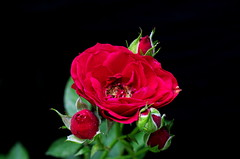 Red rose (Juan Manuel Bautista Hoepfner) Tags: flower flor garden rose rosa