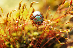 Colour (Hugobian) Tags: rosemary beetle beetles insect nature bug wildlife fauna flora colour stevenage fairlands valley park macro pentax k1