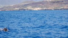 Överallt dök de upp. (Veli Vilppu) Tags: borås lapalma skillingaryd sweden veli vilppu båt delfin fyr havet kaj mur safari sköldpadda val canarias spanien