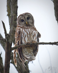 RSF0697 (jacksonfrontierphotography) Tags: barred owl missouri