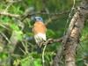 Bluebird in tree (birdsflocktogether) Tags: bluebird arkansas bird