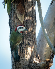 Cuban Green Woodpecker (karenmelody) Tags: animal animals bird birds cuba cubangreenwoodpecker picidae piciformes vertebrate vertebrates xiphidiopicuspercussus zapatapeninsula woodpecker woodpeckers