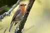 D50_8582.jpg (ManuelSilveira) Tags: piscopeitoruivo aves fauna