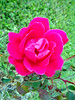 Rose. (dccradio) Tags: lumberton nc northcarolina robesoncounty flower floral rose roses greenery grass yard lawn beauty pink pinkrose flowers nature rosebush leaf leaves foliage sony cybershot dscw830 outside outdoors natural plant