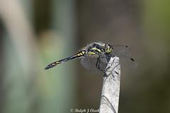 Black Darter (Ralph J Clark) Tags: blackdarter male boldermere surrey nikon200500mmf56