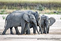 Drinking From The Sand (Gary Grossman) Tags: family elephants drinking water dry riverbed safari river sand wild wildlife mammals africa tanzania ruaha landscape garygrossmanphotography wildlifephotography drinkingtogether africanbush