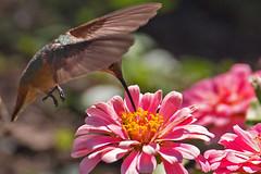 Hummingbird (RicoLeffanta) Tags: bird hummingbird flower blossom bloom pollen nectar pink golden feet tiny rico leffanta