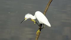 Garcinha - Snowy Egret (sileneandrade10) Tags: sileneandrade ardeidae egrettathula snowyegret ave animal sony sonydschx400v parque pássaro