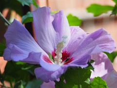 Dance Along The Light of Day 🇨🇦 (Céanndhubahn) Tags: lilac abigfave canada toronto flower hibiscus roseofsharon