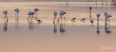 Morning feast (Jerzy Orzechowski) Tags: flamingo sunrise namibia water reflections fog wolvisbay golden birds sea landscape bird