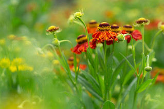 Heavenly Helenium