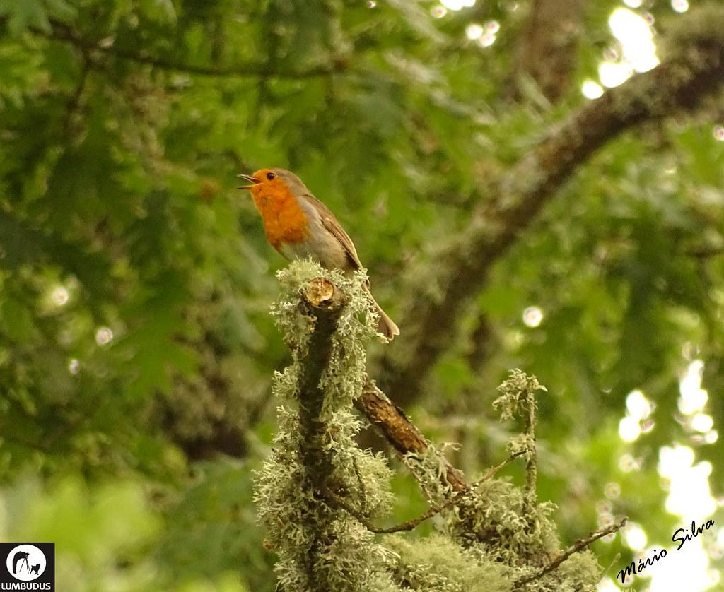 Águas Frias (Chaves) - ... ave canora apanhada em flagrante, em pleno canto ...