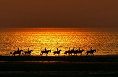 Chevaux sur la Plage de Berck - Pas de Calais (gonul20131) Tags: plage berck chevaux cavaliers pasdecalais hautsdefrance france lumix lumixtz200