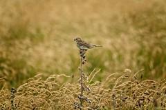 it's the little things.... (frakof) Tags: vogel wiese gras thrush denmark 2018 summer stx85 atx85 lark lerche