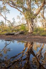 Reflecting Australia (Allieca Paterson) Tags: landscape puddle water mirrorimage reflection tree noosa noosanorthshore australia