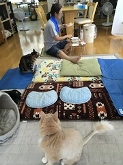 Argent Readies her Sneak Attack on Naomi's Lunch (sjrankin) Tags: 30july2018 edited animal cat argent norio tigger family naomi floor livingroom lunch tofu fishflakes kitahiroshima hokkaido japan