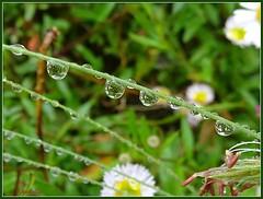 Costume jewellery ....Bijoux fantaisie ! (Armelle85) Tags: extérieur nature fleur flore gouttes deau tige pluie macro