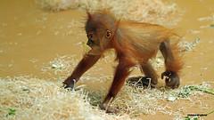 Wenn ich erst mal Groß bin..Orang_Uthan_Baby (innmedia) Tags: tierfoto tierfotografie tierfotos tiere tier sumatraorangutan orangutan affen apen animalphotograpfie animal animals innmediafoto tierpark zoo tierparkhellabrunn dierlijkebaby bebéanimal bambinoanimale animalbaby djurbaby