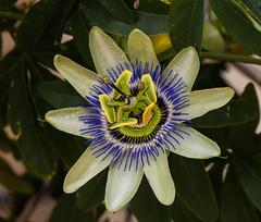Passionsblume (achim-51) Tags: blume makro natur outdoor passionsblume pflanze panasonic lumix dmcg5