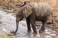 Refreshment IX (AnyMotion) Tags: africanelephant afrikanischerelefant loxodontaafricana elephants elefanten splashing spritzend 2015 anymotion tarangireriver tarangirenationalpark tanzania tansania africa afrika travel reisen animal animals tiere nature natur wildlife 7d2 canoneos7dmarkii ngc npc