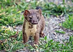 Stoat (Gary Grossman) Tags: stoat wild wildlife ridgefield carnivore weasel predator nature summer garygrossmanphotography shorttailedweasel nationalwildliferefuge pacificnorthwest washington
