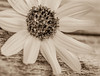 reaching out (risaclics) Tags: circles make me smile 60mmmacro 7dw april2018 nikond610 daisy flora flower monochrome sepia makemesmile
