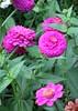 flowers in my daughter's garden (CatnessGrace) Tags: flowers garden nature pink green