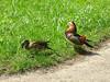 Mandarinenten (Veit Schagow) Tags: mandarinente duck couple bird meadow wiese grass