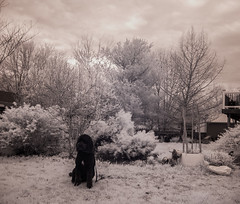 Black Dog (dzmears) Tags: dogs ir peaceful day overcast goodboy animal leaves majestic infrared dog black pretty lovely blackandwhite friend white