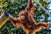 Audubon Zoo Revisit 5 (AaronP65 - Thnx for over 12 million views) Tags: neworleans louisiana unitedstates audubonzoo orangutan
