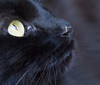 food chain (Robert Couse-Baker) Tags: cat chat blackcat moustique mosquito mosquitosbitingpet mosquitobitingcat vector animal insect pest bite nose littledoglaughednoiret