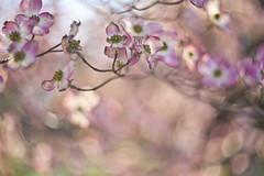 Joy (Lamson**NG) Tags: 23 dogwood floral flower spring pink bokeh lamson joy 14 light helios