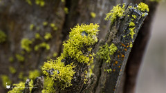mossy climber (Cathaus Photography) Tags: cathaus nikon cheney spokane lichen moss tree wood
